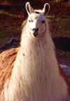Alaska - Anchorage / ANC: Llama / Lama at the zoo - Lama glama - camelid - photo by F.Rigaud
