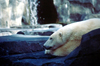 Alaska - Anchorage: polar bear taking a siesta - the zoo - Ursus maritimus - photo by F.Rigaud