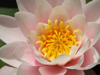 Argentina - Buenos Aires - Jardin Botanico, Carlos Thays, Palermo - water lilly flower - images of South America by M.Bergsma