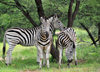 Gaborone Game Reserve, South-East District, Botswana: Burchell's Zebra, Equus quagga burchellii - stallion and two mares under a tree - photo by M.Torres