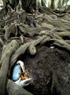 12 Christmas Island: Blue Crab in tree root burrow (photo by B.Cain)
