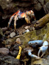 48 Christmas Island: Robber Crab & Blue Crab (photo by B.Cain)