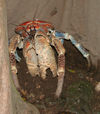 50 Christmas Island: Robber Crab in burrow - Birgus latro (photo by B.Cain)