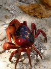 Christmas Island: Red Crab and leaf - Gecarcoidea natalis (photo by Bill Cain)