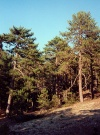 Cyprus - Troodos mountains - Limassol district: pines on the slopes - forest - photo by Miguel Torres