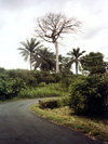 Bioko island / Fernando Po Island, Equatorial Guinea: ceiba tree - photo by B.Cloutier