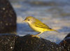 Galapagos Islands: yellow warbler - Dendroica petechia - photo by R.Eime