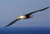 Galapagos Islands: waved albatross in flight over the Pacific - Diomedea irrorata - photo by R.Eime