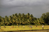 South India: rice cultivation - Asian agriculture - photo by W.Allgöwer