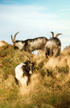 Ireland - Partry Mountains: wild goats (county Mayo)  (photo by Miguel Torres)
