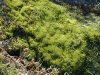 Kerguelen island: Port Jeanne d'Arc - closeup of the moss beside the stream (photo by Francis Lynch)