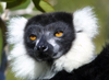 Madagascar - Lokobe Reserve: acutely endangered Black and White Ruffed Lemur (photo by Rod Eime)