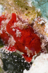 Mabul Island, Sabah, Borneo, Malaysia: Red Painted Frogfish - Antennarius Pictus - photo by S.Egeberg