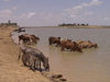Mali - River Niger: donkeys and cows share a drink - photo by A.Slobodianik
