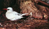 Midway Atoll - Sand island: Red-tailed Tropicbird - Phaethon rubricauda - birds - fauna - wildlife - photo by G.Frysinger