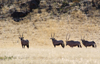 Namibia: four oryx in field at Skeleton Coast - photo by B.Cain