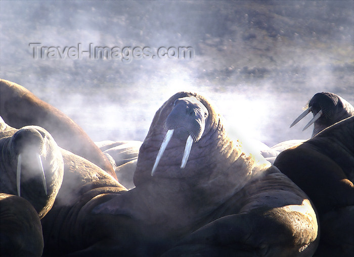 81 Franz Josef Land: Steaming Walruses - photo by B.Cain