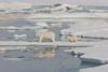 Russia - Bering Strait (Chukotka AOk): Polar Bear and cub on the ice - Ursus maritimus - Arctic ocean - Chukchi sea - photo by R.Eime
