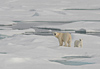 Russia - Bering Strait (Chukotka AOk): Polar Bear and cub on the ice - photo by R.Eime