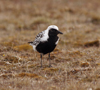 Wrangel Island / ostrov Vrangelya, Chukotka AOk, Russia: Black Breasted Plover on the ground - Charadrius squatarola - migrant bird, nests in the Arctic - photo by R.Eime