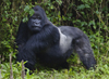 Volcanoes National Park, Northern Province, Rwanda: Mountain Gorilla - Gorilla beringei beringei - Gorundha, of the Sabyinyo Group, displaying his Silver - photo by C.Lovell