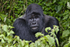 Volcanoes National Park, Northern Province, Rwanda: Mountain Gorilla - Gorilla beringei beringei - Gorundha, of the Sabyinyo Group, poses for the camera - photo by C.Lovell