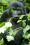 Rwanda - Parc National des Volcans / Volcanos' national park - Virunga Volcanoes: angry mountain gorilla - photo by J.Banks