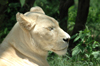 South Africa - Pilanesberg National Park: white lioness - photo by K.Osborn
