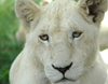South Africa - Pilanesberg National Park: young white lioness - albino - albino - leon blanco - photo by K.Osborn