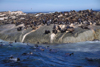 Duiker Island, Western Cape, South Africa: Cape Fur Seal colony - photo by R.Eime