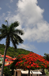 Gustavia, St. Barts / Saint-Barthélemy: flamboyant acacia and palm tree - Rue du Bord de Mer - photo by M.Torres