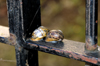 Scotland - Edinburgh: two snails soak up the sun's heat on a wrought iron fence - photo by C.McEachern