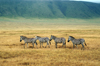 Tanzania - four Zebras in Ngororngoro Crater - Arusha Region - Unesco world heritage site - photo by A.Ferrari
