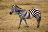 Tanzania - Zebra in Ngorongoro Crater - Ngorongoro Conservation Area - UNESCO World Heritage Site - photo by A.Ferrari