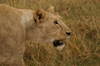 Tanzania - Lioness (close view) in Ngorongoro Crater - photo by A.Ferrari