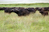 Tanzania - Buffalos in Ngorongoro Crater - photo by A.Ferrari