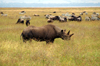 Tanzania - Black Rhinoceros in Ngorongoro Crater - Rhino - photo by A.Ferrari