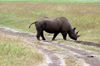 Tanzania - Black Rhinoceros and tracks in Ngorongoro Crater - photo by A.Ferrari
