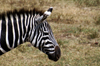 Tanzania - Zebra (close view) in Ngorongoro Crater - photo by A.Ferrari
