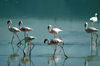 Tanzania - Flamingos on the Magadi Lake, Ngorongoro Crater - photo by A.Ferrari