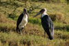 Tanzania - Marabou storks, Leptoptilos crumeniferus - in Ngorongoro Crater - photo by A.Ferrari