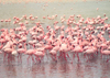 Tanzania - Tanganyika - Ngorongoro crater: flamingos - photo by N.Cabana