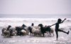 Africa - Région Maritime, Togo: animals in the surf - boy shepherd washing a flock of sheep - Bight of Benin - photo by J.Filshie