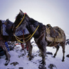 Mount Ararat, Agri Province, East Anatolia, Turkey: snow covered donkeys - load animals - base camp - mountaineering - photo by W.Allgöwer