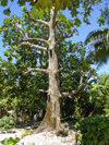 Funafuti atoll, Tuvalu: bread fruit tree - photo by G.Frysinger