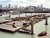 San Francisco (California): seals on the harbor (photo by M.Bergsma)