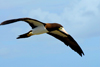 Los Testigos islands, Venezuela: Brown Booby in flight - Sula leucogaster - alcatraz pardo - photo by E.Petitalot