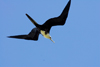 Los Testigos islands, Venezuela: female Magnificent Frigatebird in flight - Fregata magnificens - photo by E.Petitalot