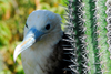 Los Testigos islands, Venezuela: close-up of a female frigatebird near a cactus - Fregata magnificens - photo by E.Petitalot