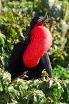 Los Testigos islands, Venezuela: male Frigatebird male displaying his red gular pouch to attract a mate - vegetation - Fregata magnificens - fauna - bird - photo by E.Petitalot